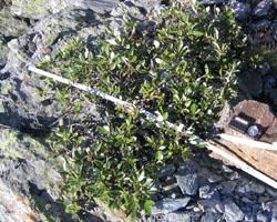 Salix shrub