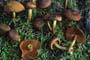 Cortinarius (Derm.) cinnamomeus