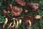 Cortinarius (Derm.) phoeniceus
