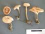 Marasmiellus tricolor