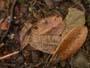 Marasmius buxi