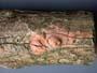 Peniophora proxima
