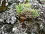 Clitocybe lateritia