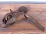 Geastrum melanocephalum