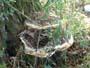 Inonotus dryadeus
