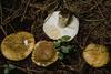 Russula ochroleuca