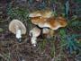 Cortinarius (Ser.) argutus