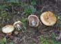 Cortinarius (Phl.) corrosus