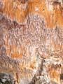 Pachykytospora tuberculosa