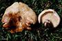Russula pallidospora