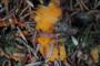 Byssonectria terrestris