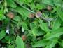 Entoloma (Lep.) lividocyanulum