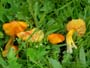 Hygrocybe persistens