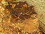 Ischnoderma benzoinum