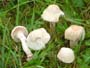 Camarophyllus berkeleyi