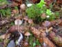 Mycena strobilicola