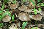 Psathyrella spadiceogrisea