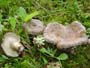 Lactarius blennius