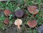 Lactarius subumbonatus