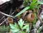 Dumontinia tuberosa