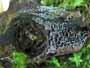 Proliferodiscus pulveraceus