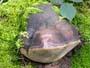 Phellinus hartigii