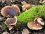 Polyporus badius