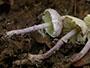 Cystolepiota bucknallii