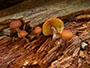 Gymnopilus picreus
