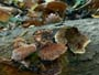 Inonotus rheades