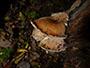 Lentinus cyathiformis
