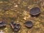 Sclerencoelia fascicularis