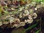 Steccherinum bourdotii