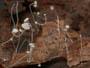 Mycena smithiana