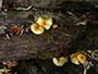 Pholiota limonella